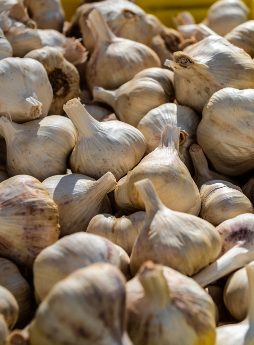 Garlic (Allium sativum)